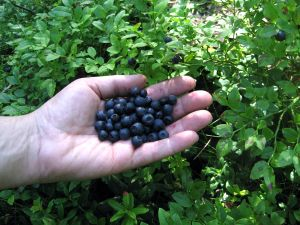 bluberry-1213146-m