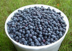 Blueberry Benefits and Our Own TLC Buffy's Blueberry Orchard
